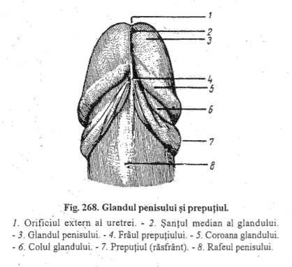 ce determină forma penisului