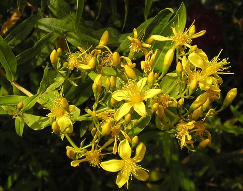 Ceaiuri pentru detoxifierea organismului: sunătoare şi păpădie - messia.ro