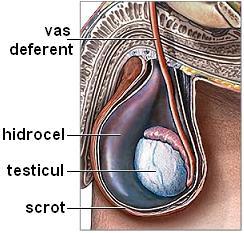 poate exista o erecție în absența testiculelor