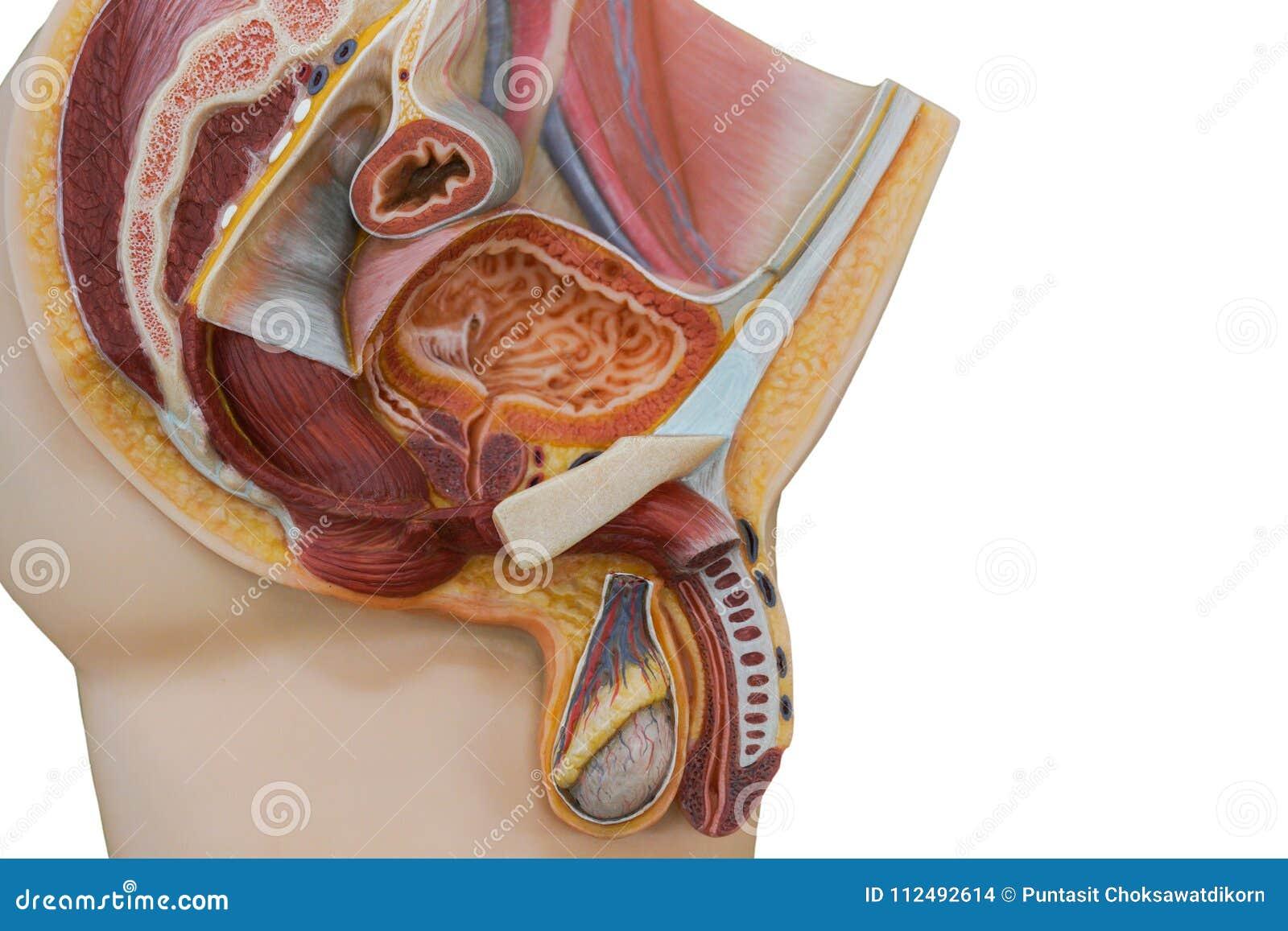 penisul masculin la microscop