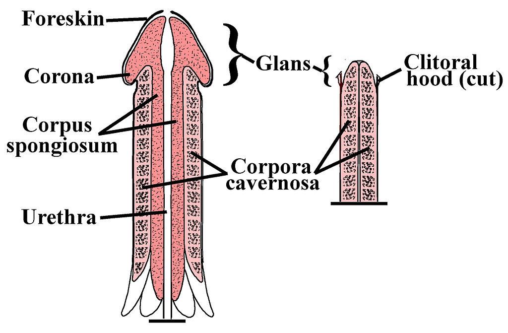 cum îți poți mări exercițiul penisului?