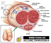 Penisul   Anatomie si fiziologie