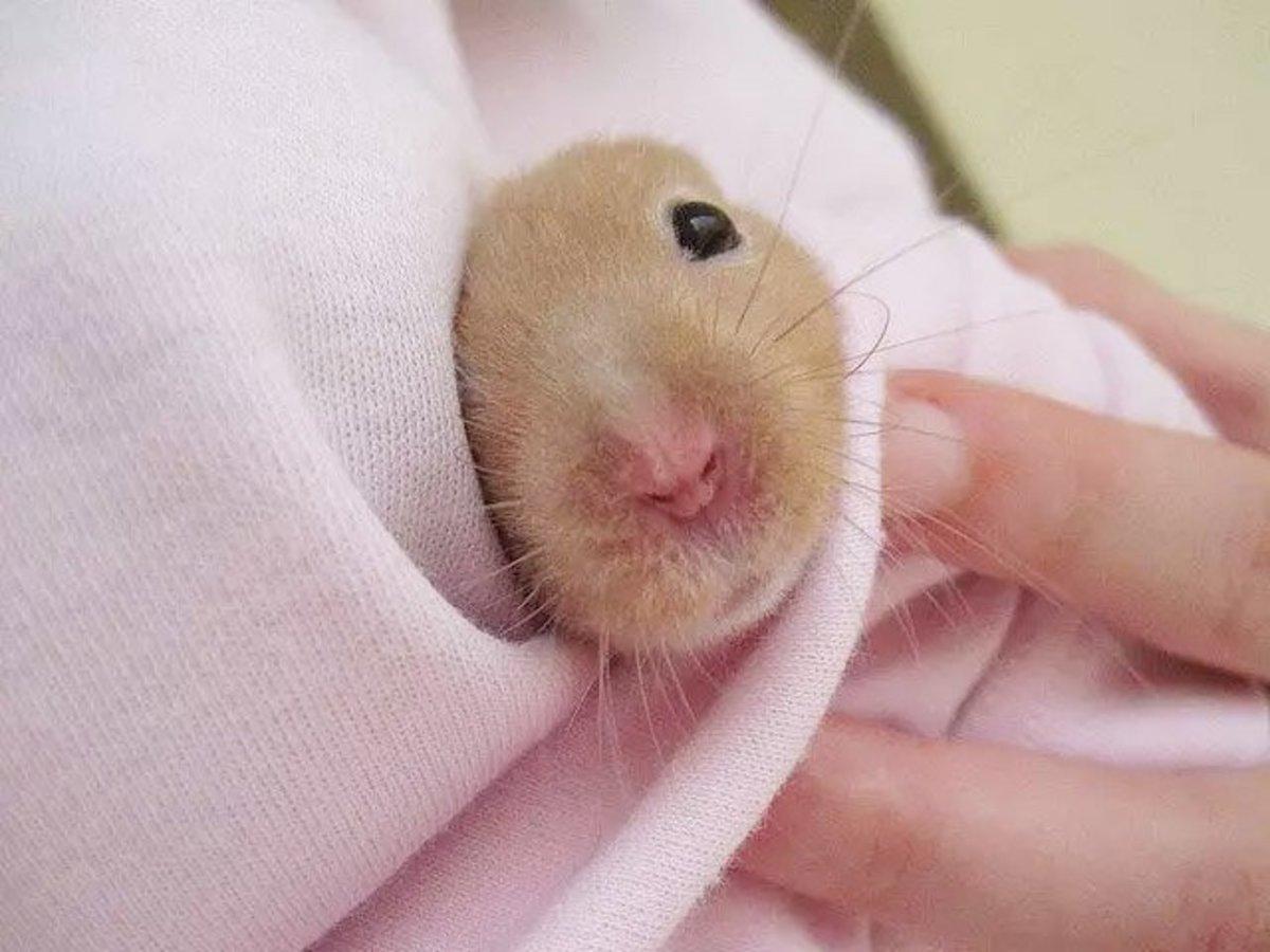 penis de hamster