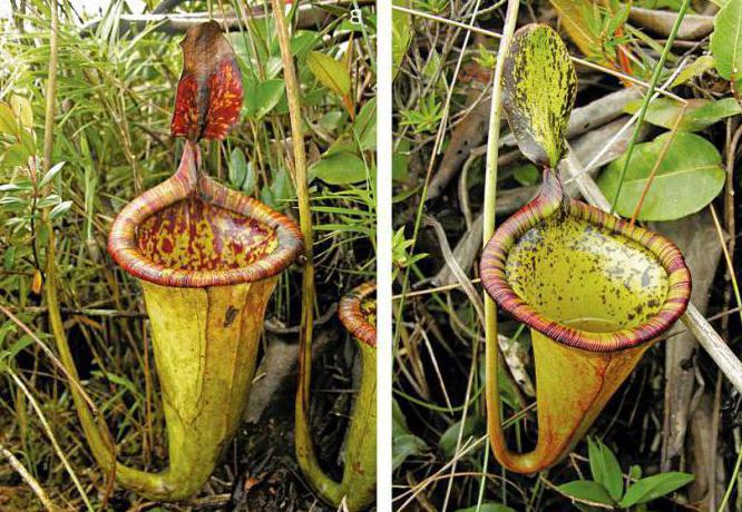 plantă asemănătoare penisului
