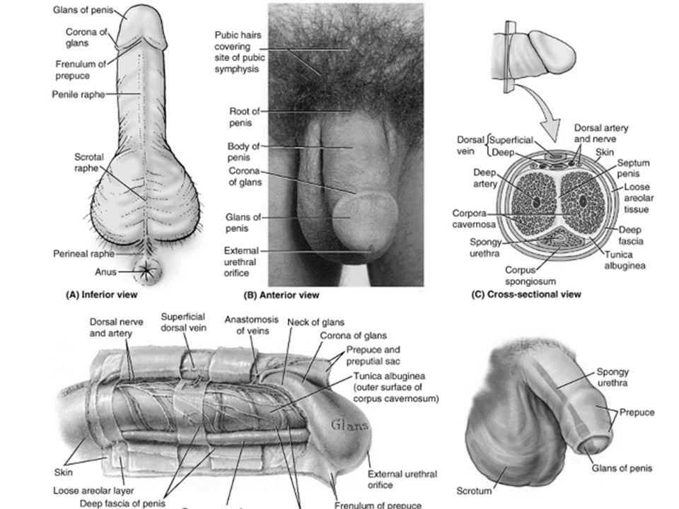 structura penisului la bărbați