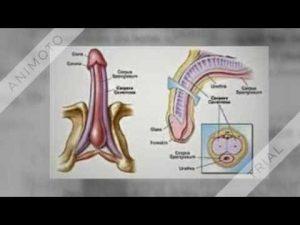 antrenament pentru o erecție mai bună ce tipuri există în penis