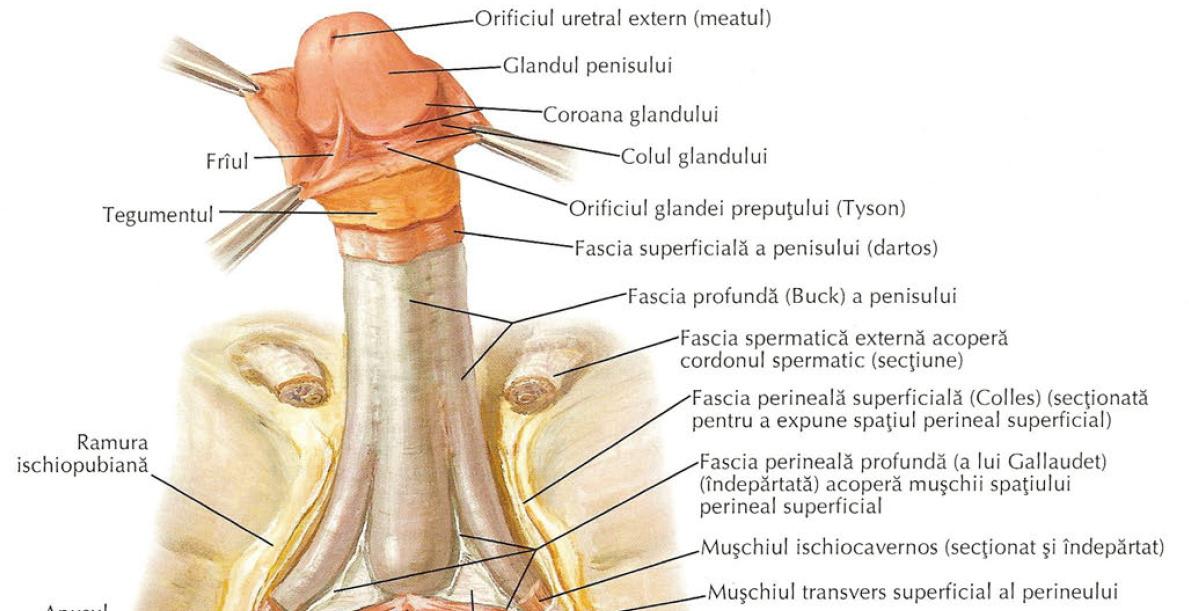 structura masculină a penisului