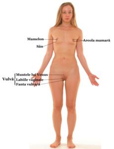 organele genitale masculine erectia lor