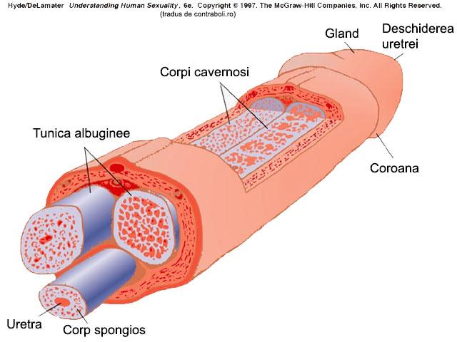 arată structurile penisului