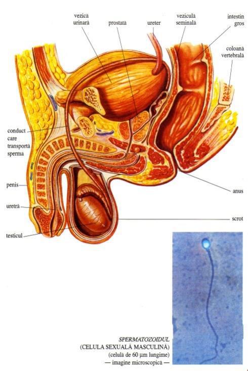 celulele masculine ale penisului erecție slabă la 20