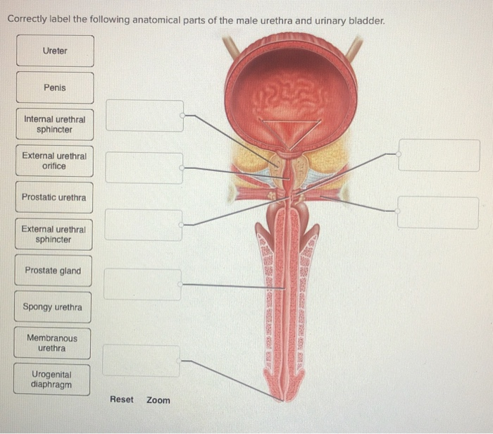 penis în sfincter