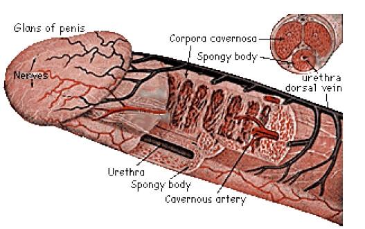părți ale corpului penis pentru o femeie ce dimensiune ar trebui să aibă penisul