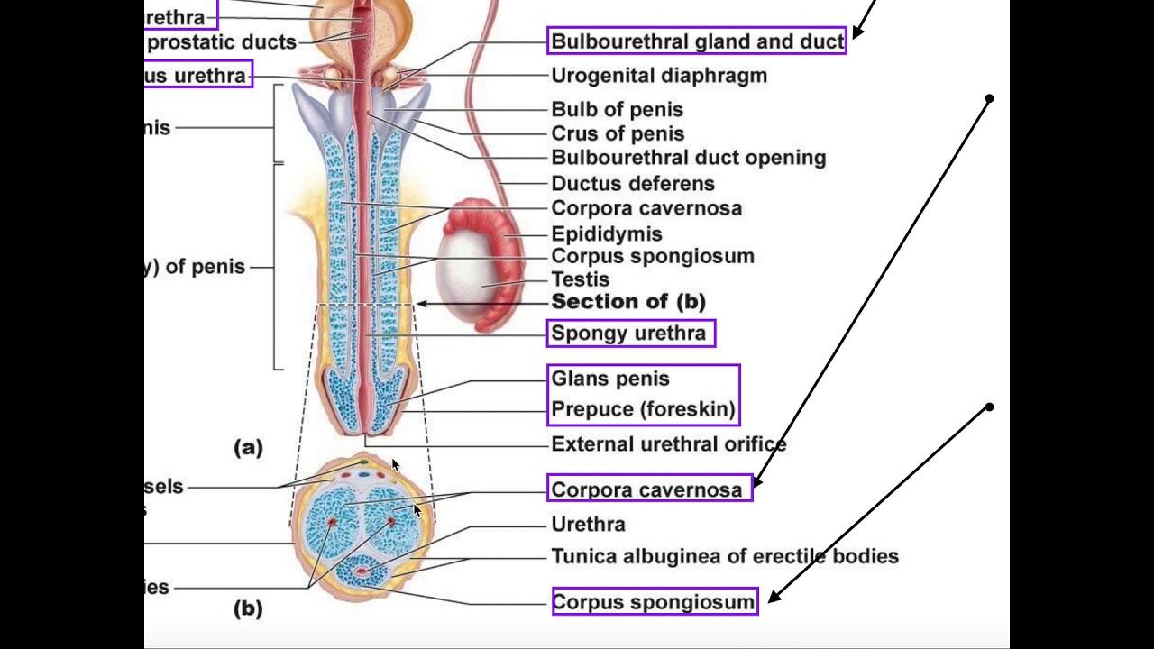 structura penisului felin