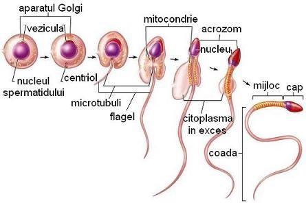 penisul genital masculin și dimensiunea acestuia
