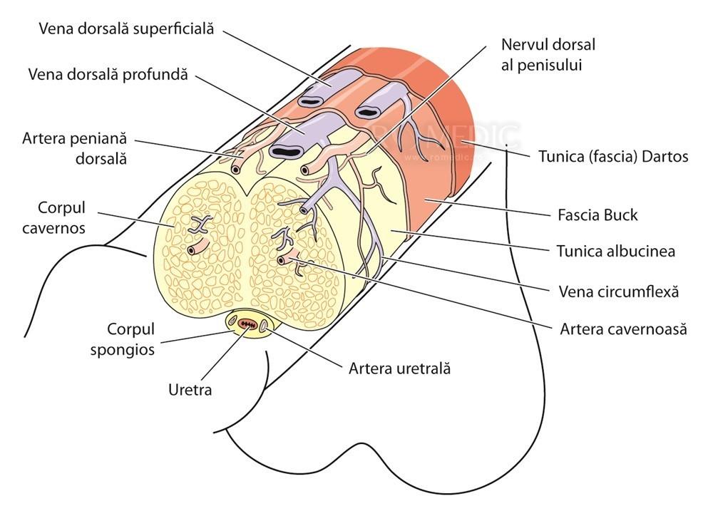 tipuri de țesut al penisului