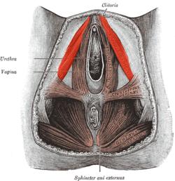 există mușchi în penis