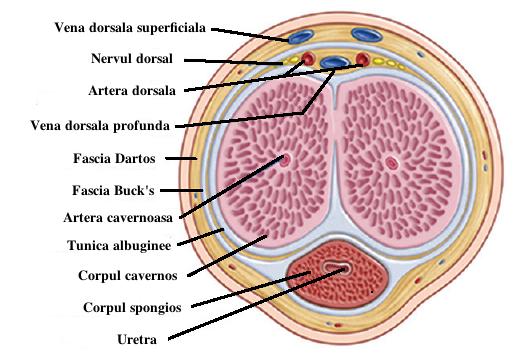 exercițiu pentru grosimea penisului din care după o erecție cade membrul