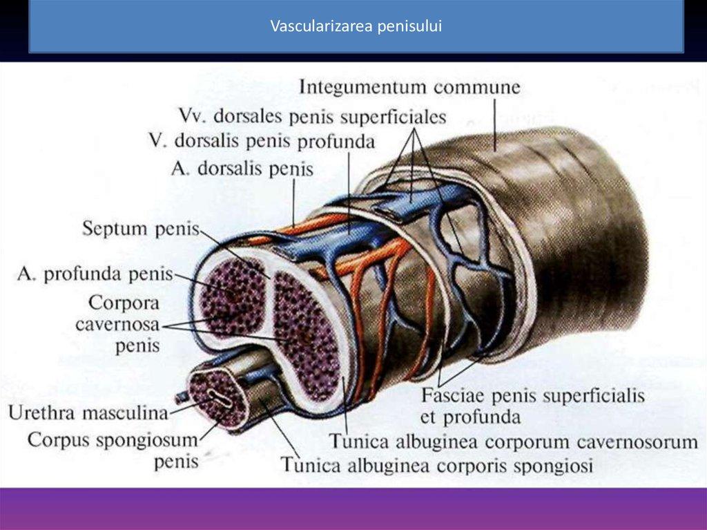 care este tunica albuginea penisului