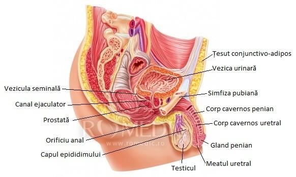 penisul corpului masculin