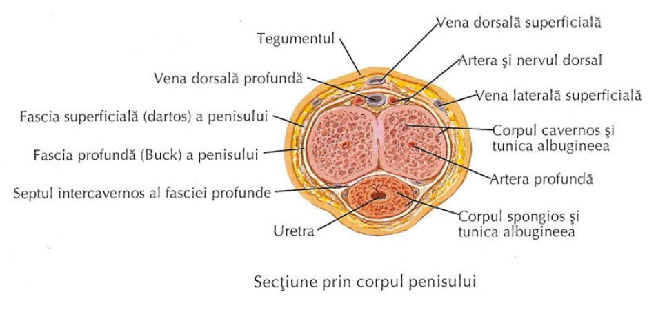 corpul cavernos penis