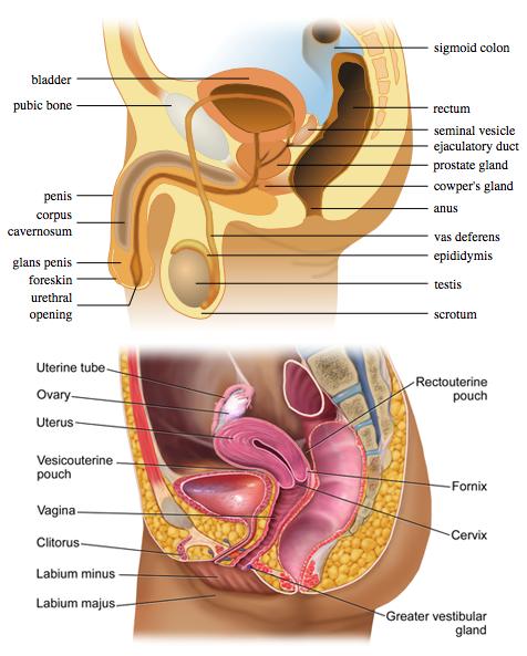 organe genitale feminine masculine penis cât timp este membrul într- o erecție