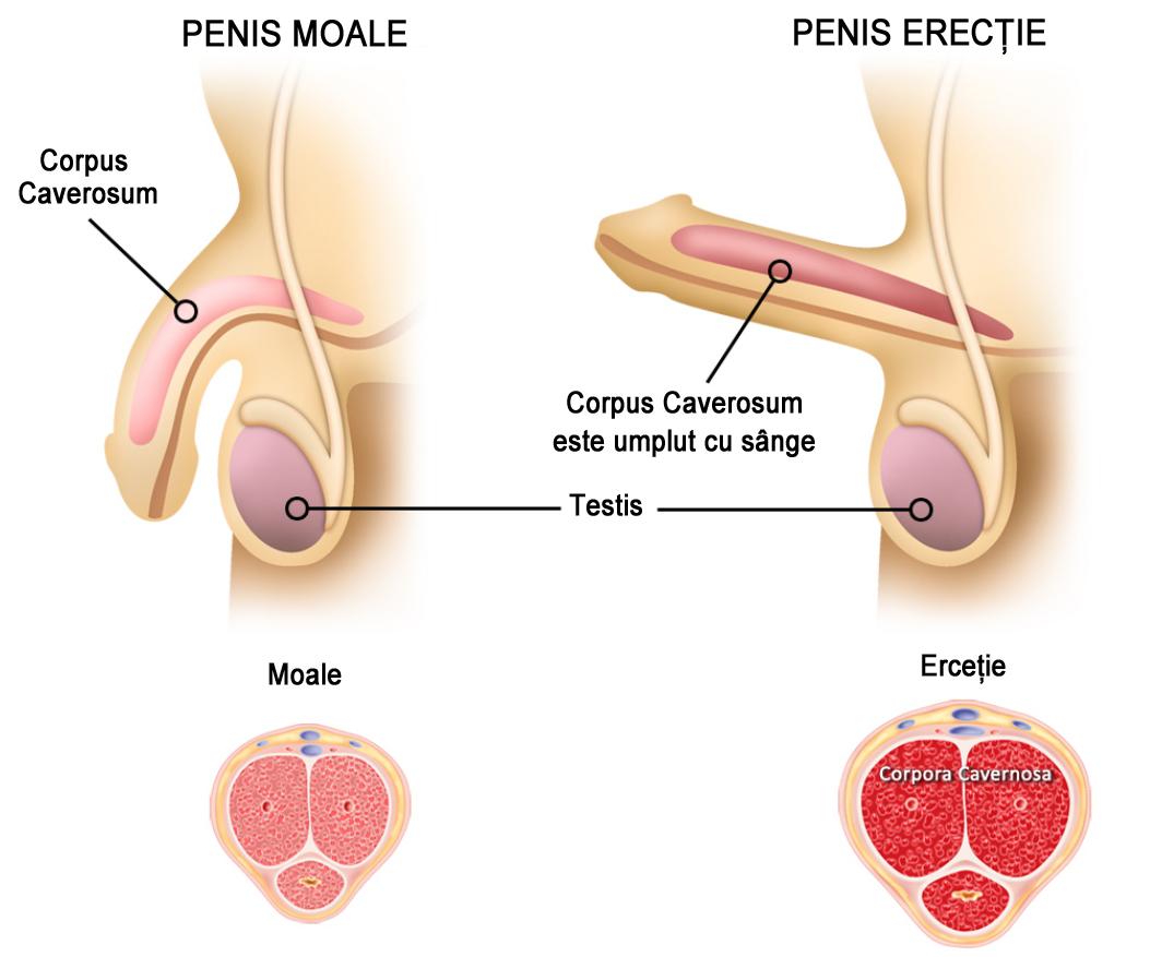 penisul este moale în timpul unei erecții ce poate ajuta la îmbunătățirea erecției